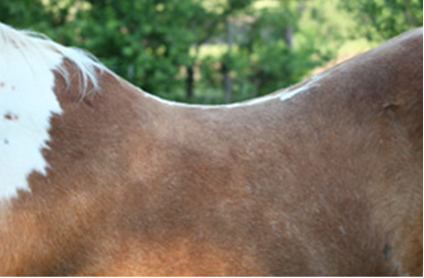 CSI Saddle Pads Shims can help with Sway Back